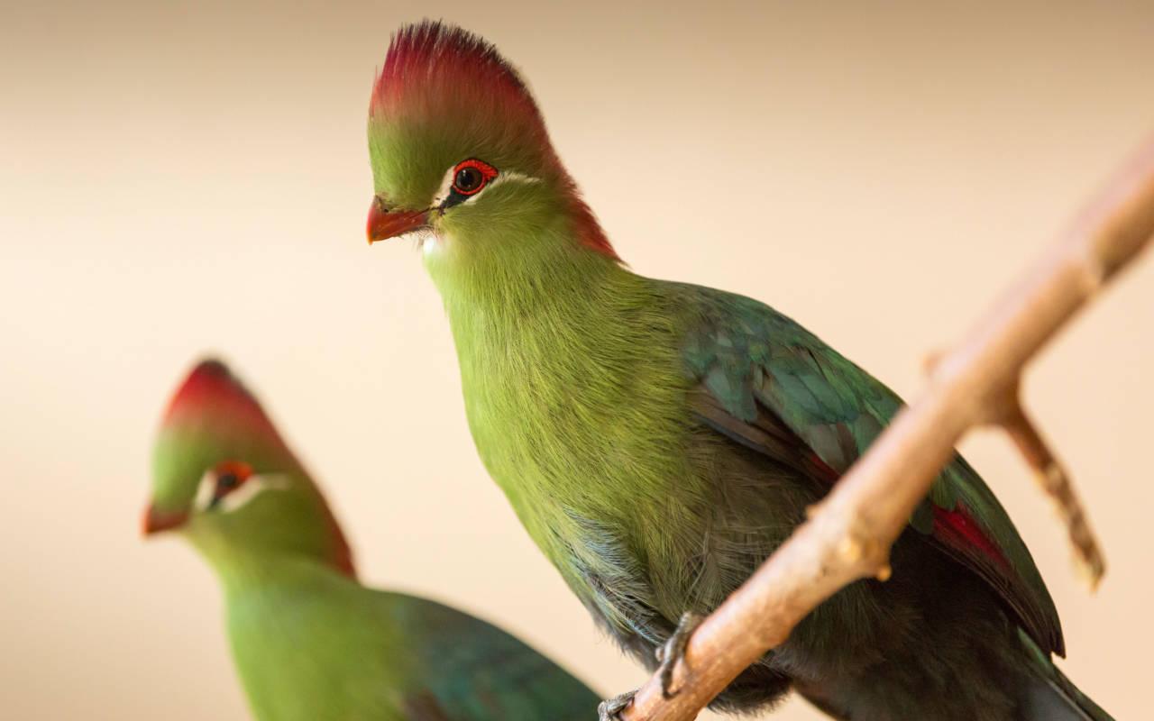Aviary mynah birds