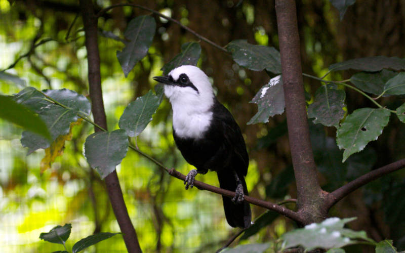 A black and white laughingthrush