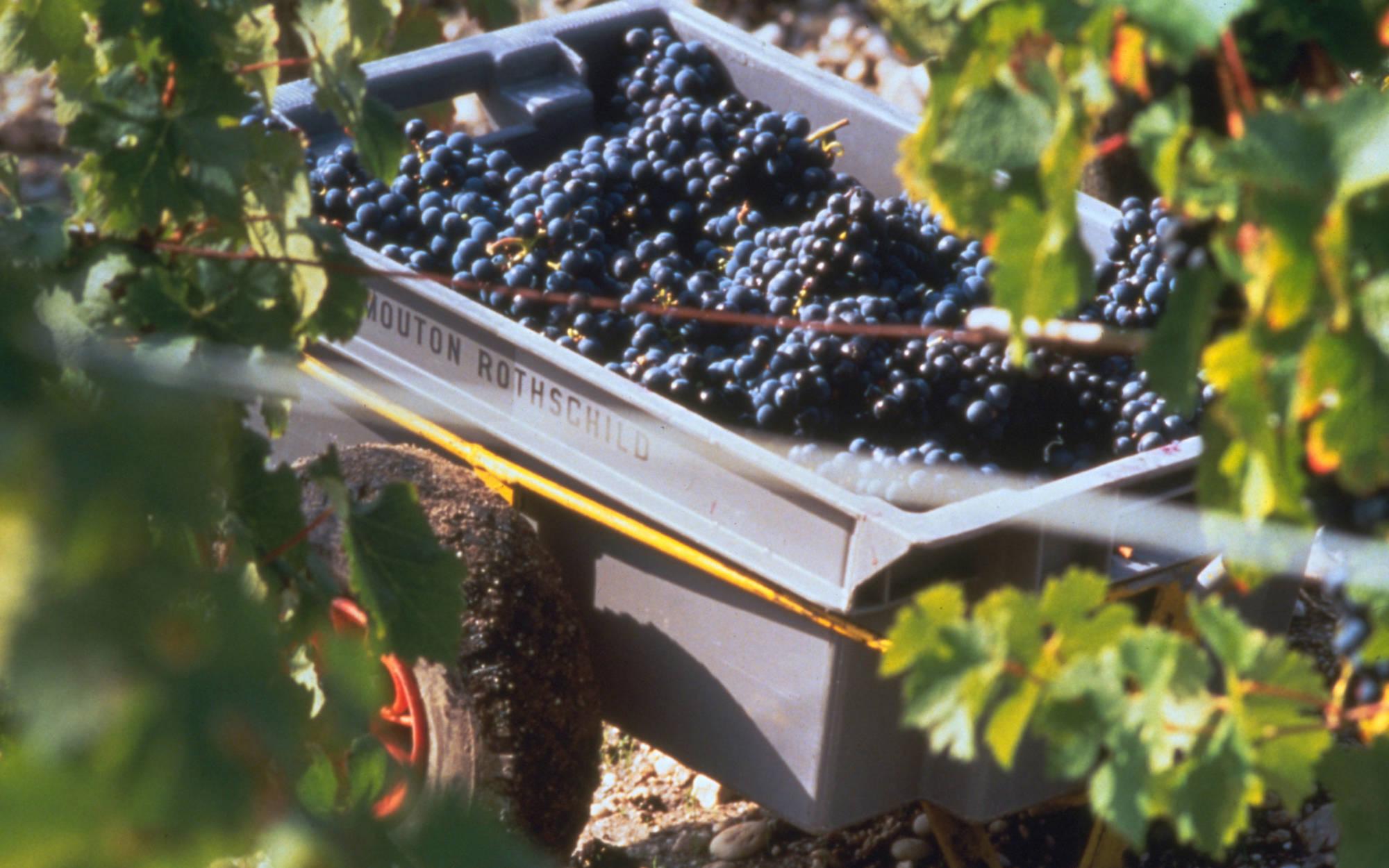 Grape harvest at Mouthon Rothschild