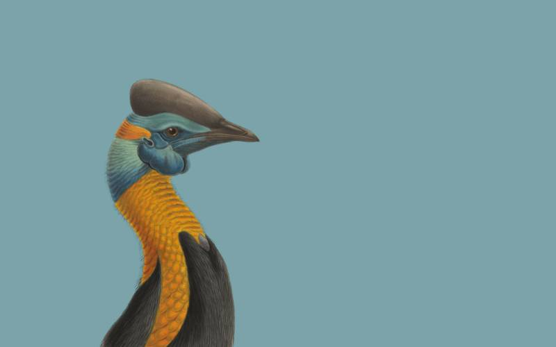 cassowary-blue-back-3000-1875