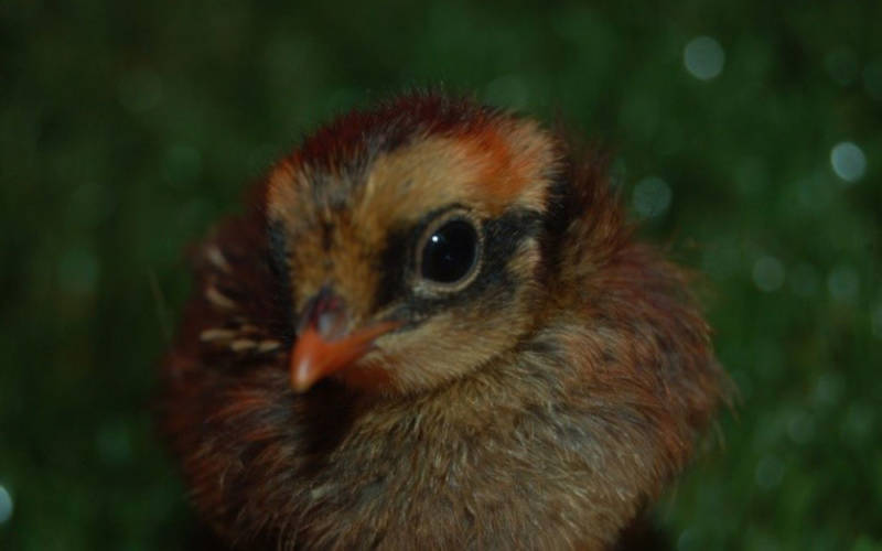 collared-hill-partridge-chick