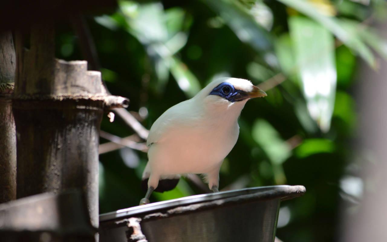 A Rothschild mynah bird