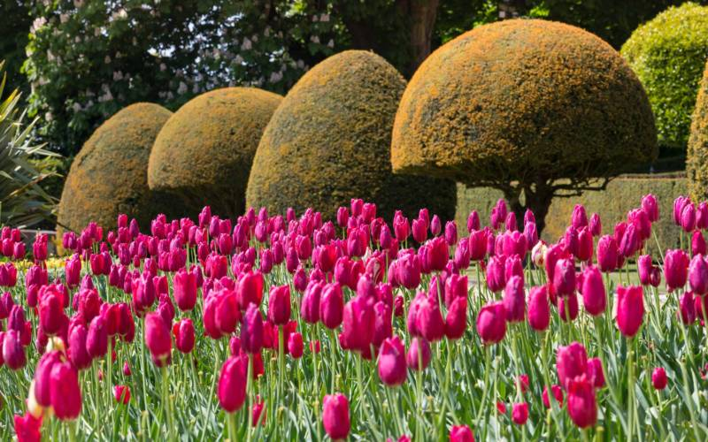 Tulips and trees on the Parterre