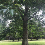 London Plane in summer