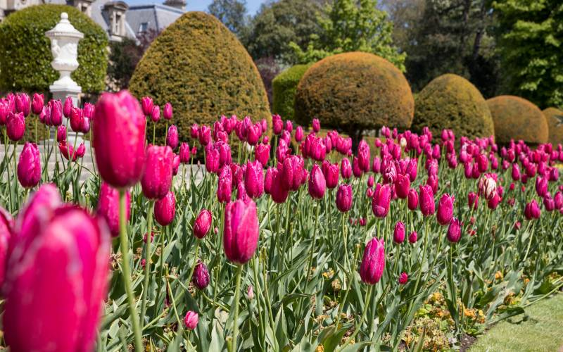 pink-tulips-garden-3000-1875-chris-lacey