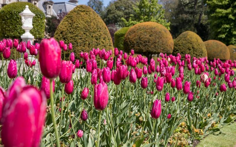 pink-tulips-garden-3000-1875-chris-lacey1
