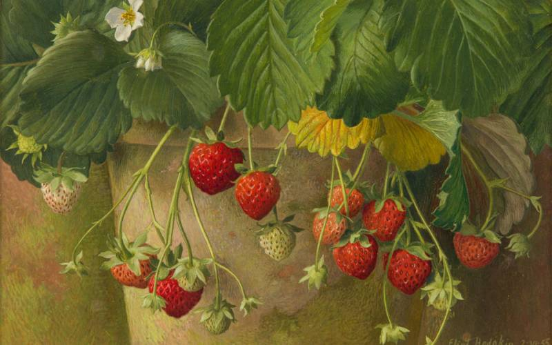 Strawberries growing in a pot