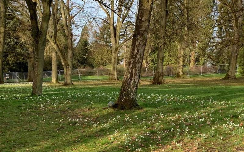 83000-Galanthus-nivalis-and-Galanthus-nivalis-Flore-Pleno-planted-for-Lady-Rothschild_Rose-Garden_Mike-Buffin