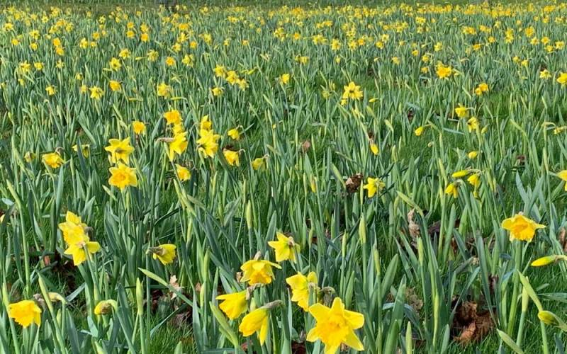 Narcissus-daffodils-Rijnveld's-Early-Sensation_-new-bulb-displays-in-the-Upper-Deer-Pen-near-the-Rose-Garden_Mike-Buffin