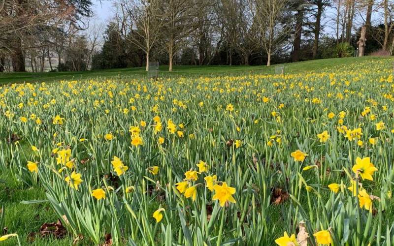 Narcissus-daffodils-Rijnveld's-Early-Sensation_-new-bulb-displays-in-the-Upper-Deer-Pen-near-the-Rose-Garden_Mike-Buffin_2