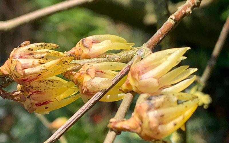 Winter sweet chimonanthus praecox