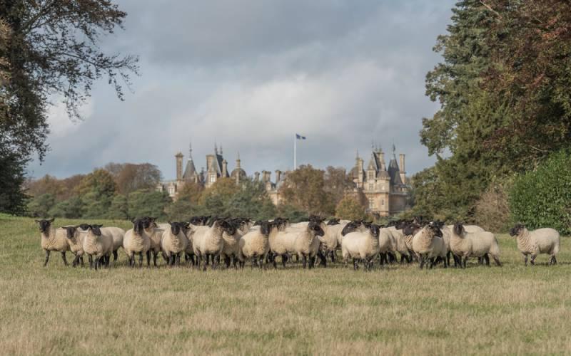 Local-produce-sheep-1000x625
