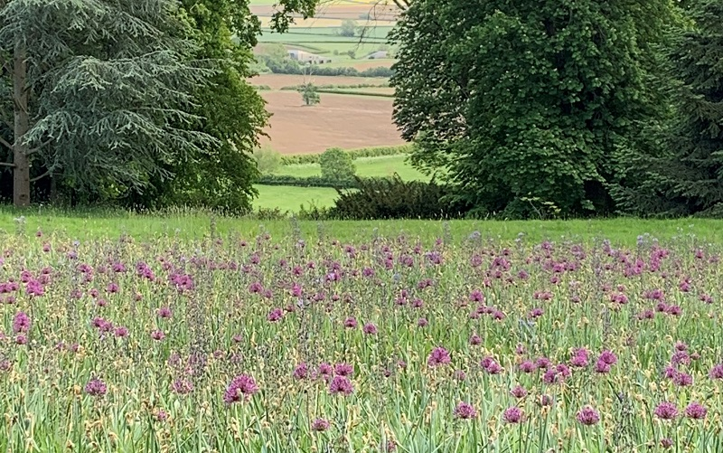 Allium in flower at Waddesdon