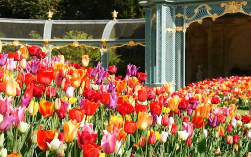 Tulips at Aviary Garden