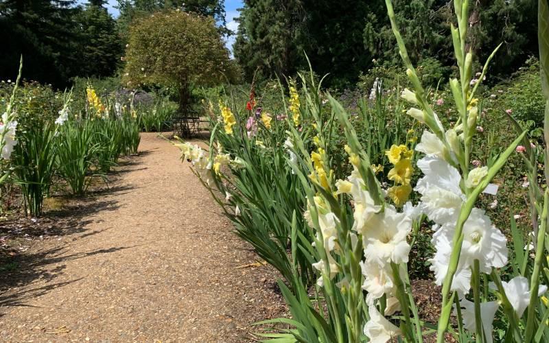 Gladioli in the Rose Garden at Waddesdon
