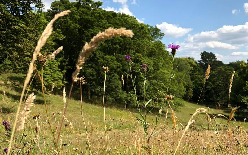 Wildflower meadow restoration at Waddesdon